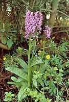 Geflecktes Knabenkraut, Geflecktes Fingerkraut, Gefleckte Fingerwurz, Dactylorhiza maculata, Orchis maculata, Heath Spotted Orchid, Moorland Spotted Orchid