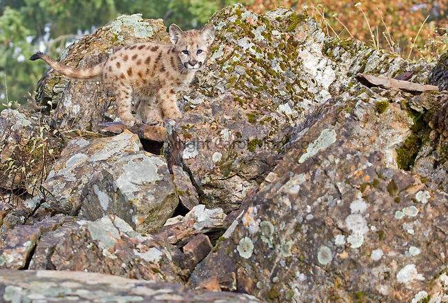 A mountain lion cub standing on some rocks on the side of a hill, Montana, North America