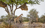 With a weaver's nest above, these giraffes graze on a late spring afternoon in Etosha National Park.