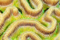 Brain coral, Diploria strigosa, Bonaire, Caribbean Netherlands, Caribbean