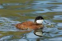 Ruddy Duck (Oxyura jamaicensis) drake.  Pacific Northwest.