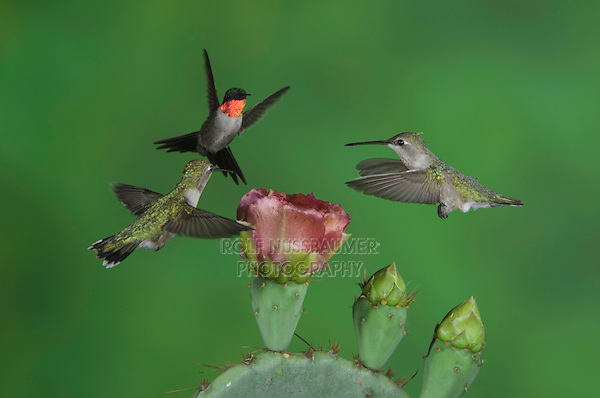Ruby-throated Hummingbird, Archilochus colubris, male and females in flight feeding on Texas Prickly Pear Cactus (Opuntia lindheimeri), Uvalde County, Hill Country, Texas, USA, April 2006