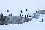 Antarctic (Blue-eyed) Shag, Enterprise Island, Antarctica