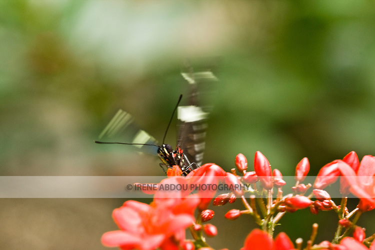 """Each year, the award-winning Brookside Gardens in Silver Spring, Maryland hosts a """"Wings of Fancy"""" butterfly exhibit in its Conservatory."""