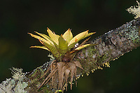Bromeliad, Bromeliaceae, plant growing on tree branch, Bosque de Paz, Central Valley, Costa Rica, Central America, December 2006