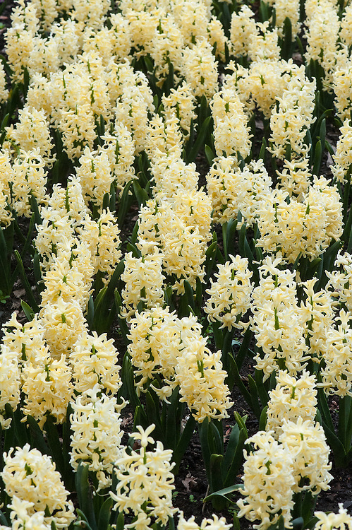 Hyacinthus orientalis 'Yellow Queen', mid April. A tall hyacinth with scented, primrose-yellow flowers.