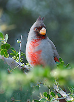 Male Pyrrhuloxia (Cardinalis sinuatus). Somewhat similar looking to the related Northern Cardinal, but with a distinct orange yellow stubby bill. A bird of brushy desert scrub habitat. Range is northern Mexico, into the southwestern US. Lower Rio Grande Valley, Texas, USA.
