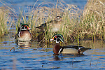 Wood ducks in northern Wisconsin.