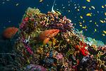 Rainbow Reef,Fesdhoo Bay, Maldives, Coral Grouper, Cephalopholis miniata