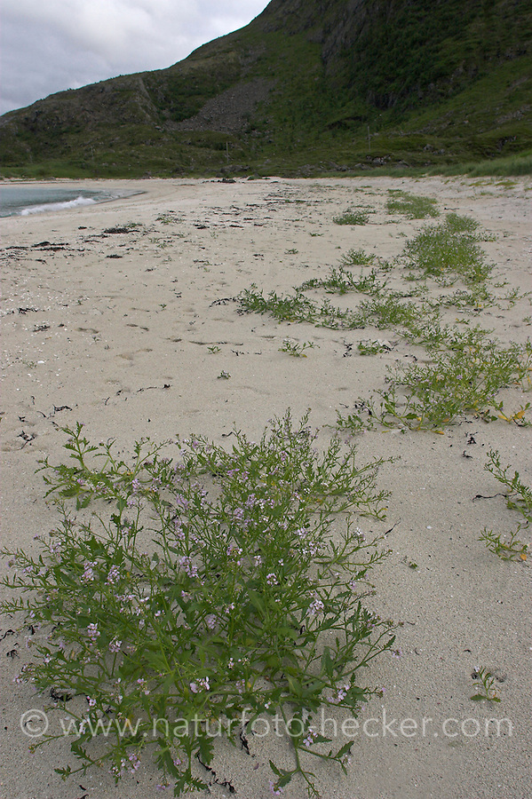 Meer-Senf, Meersenf, am Sandstrand entlang des Spülsaums, Cakile maritima, Sea Rocket, Caquilier, Roquette de mer