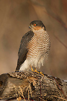 Sparrowhawk, male, perching, Accipiter nissus, Bulgaria