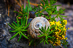 Helicella itala, heath snail, Inishmore, Aran Islands