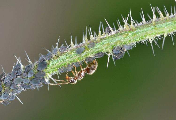 Black Ant - Lasius niger - milking aphids