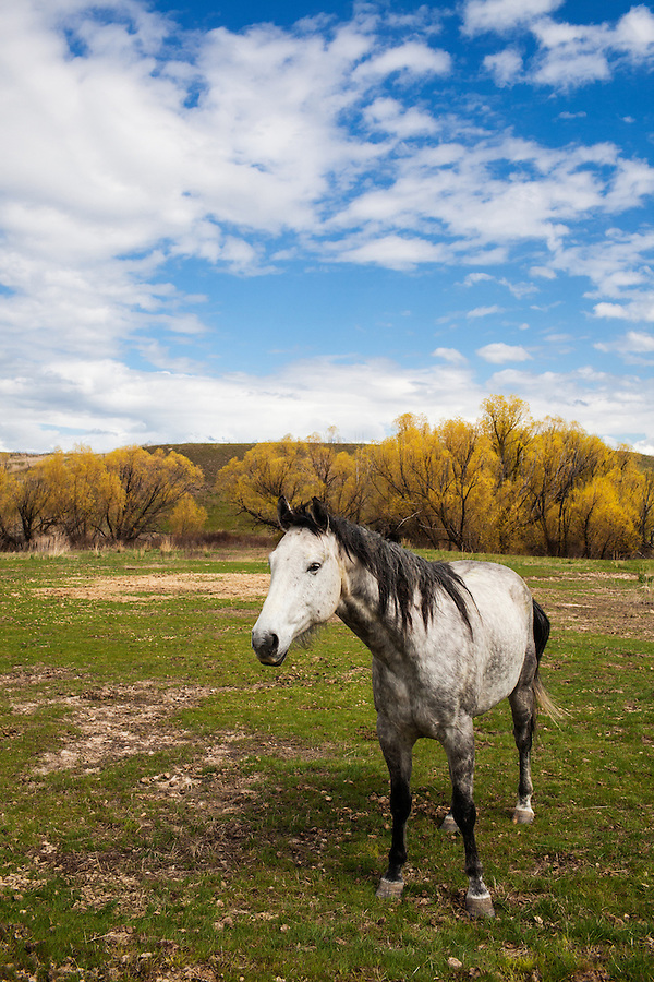 A spotted white horse stands in a grassy field with bright yellow trees and white puffy clouds overhead.