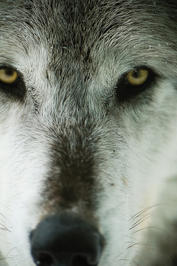 A gray wolf appears at the Grizzly and Wolf Discovery Center in West Yellowstone, Montana.