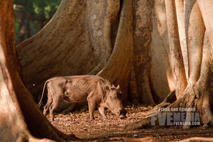 Warthog (Phacochoerus africanus) standing amount fig trees..Ndumo Game Reserve..Kwazulu-Natal, South Africa.