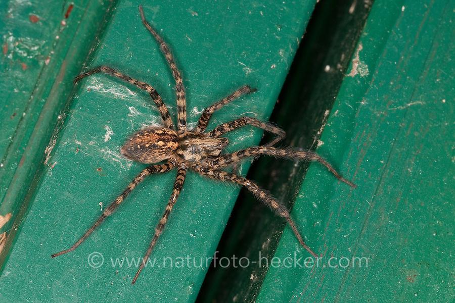 """Rostrote Winkelspinne, """"Hausspinne"""", Hauswinkelspinne, Haus-Winkelspinne, EMalthonica ferruginea, Tegenaria ferruginea, house spider, Agelenidae, Trichternetzspinnen"""