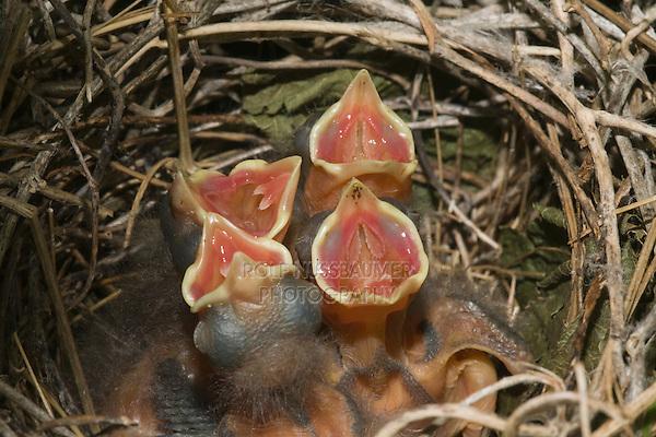 Northern Cardinal (Cardinalis cardinalis), Sinton, Corpus Christi, Coastal Bend, Texas, USA