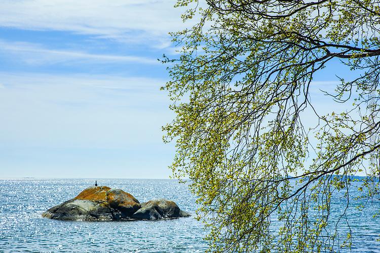 Vår med nyutslagen hängbjörk vid glittrande hav