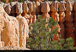 Pinyon Pine and Fairyland Hoodoos, Fairyland Canyon, Bryce Canyon National Park, Utah