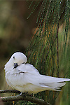 White Tern,gygis alba rothschildi.  Midway Island.  White tern resting on a branch.