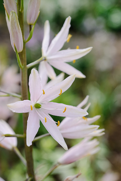 Camassia Pink (American)