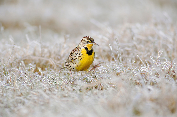 Eastern Meadowlark (Sturnella magna), adult walking on ice covered grass, Dinero, Lake Corpus Christi, South Texas, USA