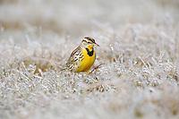 Eastern Meadowlark (Sturnella magna), adult walking on ice covered grass, Dinero, Lake Corpus Christi, South Texas, USA