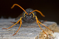 Riesen-Holzwespe, Riesenholzwespe, Holzwespe, Urocerus gigas, Giant Woodwasp, Banded Horntail, Greater Horntail, Le Sirex géant, Holzwespe, Holzwespen, Siricidae, Horntail, wood wasp, Horntails, wood wasps