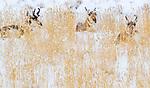 USA, Wyoming, Yellowstone National Park, pronghorn (Antilocapra americana)