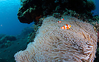 A healthy part of a coral reef on the North coast of Bali, with clownfish in their anemone. Coral growth and marine life has made Tulamben a popular  tourist destiantion for divers. In turn creating business opportunities and jobs in tourism for locals who often used to practice destructive fishing methods.  The corals which are highly sensitive to environmental changes have faced adverse fishing methods as well as increased water temperatures. .