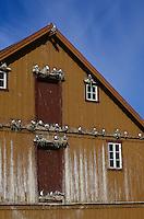 Dreizehenmöwe, Brutkolonie auf Simsen einer Hausfassade, Norwegen, Dreizehen-Möwe, Möwe, Dreizehenmöve, Rissa tridactyla, kittiwake