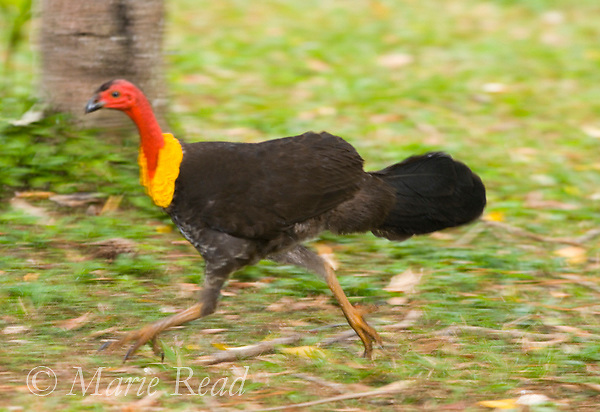 Australian Brush-Turkey (Alectura lathami), male running, Lake Eacham National Park, Queensland, Australia