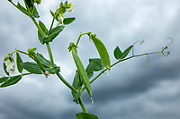 Vining peas on flower with snall pods - Lincolnshire, June