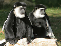 Germany, DEU, Muenster, 2004-Sep-08: Two guerezas (colobus guereza) sitting close together in the Muenster zoo.