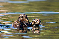 Sea Otters, Monterey, California
