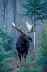 Moose, Alces alces, Canada, in woodland forest woods