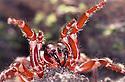 Sydney Funnelweb spider (Atrax robustus) forelegs raised, closeup of fangs prior to attack. Unusual translucent effect.