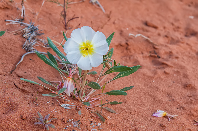 After the first rains, these delicate spring bloomers can leave carpets of snowy white across the deserts of the Southwest, such as this one in Southern Nevada.