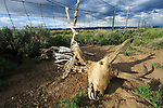 Pronghorn (Antilocapra americana) skeleton caught in a sheep fence. Both antelope, which jump poorly, and deer commonly get there legs caught in livestock fences leading to a slow suffering death. Obstacles like this pose a major threat to the highly migratory Pronghorn and Mule deer of western Wyoming. Sublette County, Wyoming. May.