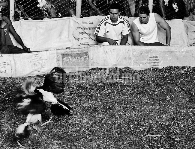 Cock fight in Havana's district of Gabarra. Despite being forbidden by law, cock fight ,  a favorite activity for people liking bets and shouts, is very popular in Cuba.