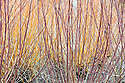 Stems of red osier dogwood (Cornus stolonifera 'Baileyi' syn. C. sericea 'Baileyi'), with yellow stems of coral bark willow (Salix alba var. vitellina 'Yelverton') in the background, mid March.