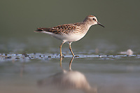 Least Sandpiper (Calidris minutilla) - Juvenile, East Pond, Jamaica Bay Wildlife Refuge