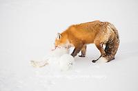 01871-02906 Red Fox (Vulpes vulpes) eating Arctic Fox (Alopex lagopus) at Cape Churchill, Wapusk National Park, Churchill, MB