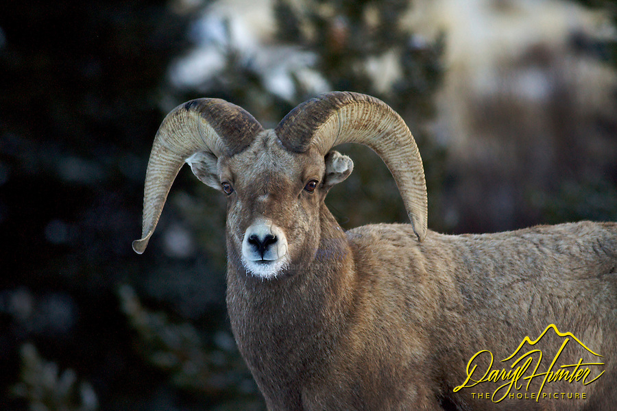 Bighorn Sheep Ram, Whiskey Mountain, Dubois Wyoming