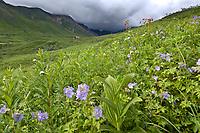 Wildflower meadow in Hatcher Pass, Alaska.