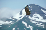 Bald eagle in flight, Glacier Bay National Park and Preserve, Alaska