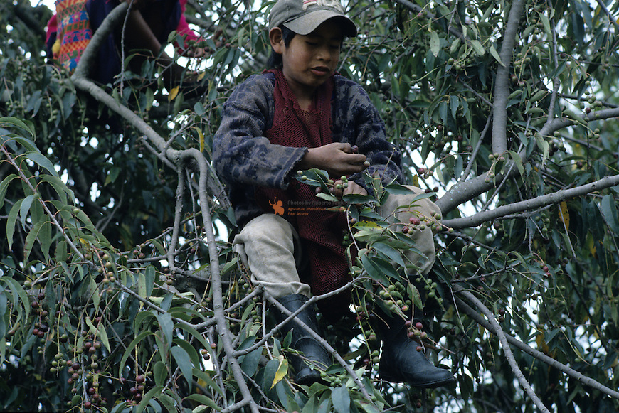 Child on tree picking up fruit of Prunus cerotina