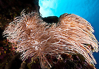 Soft Coral Anemone moves back and forward in the current like mermaid hair, Yap Micronesia (Photo by Matt Considine - Images of Asia Collection)