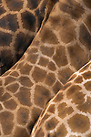 Rothschild's giraffe, Giraffa camelopardalis rothschildi, skin pattern, captive, native to East Africa